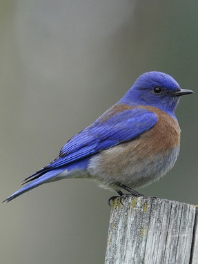 western-bluebird1jpg
