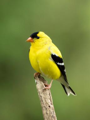 american-goldfinch-profile-1.jpg
