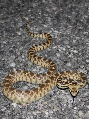 gopher-snake1jpg