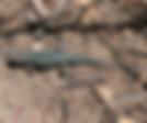 side-blotched lizard.png