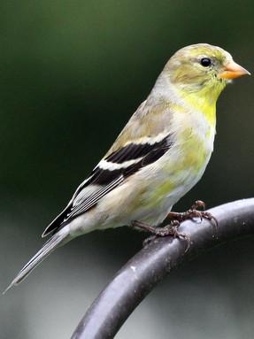 american-goldfinch-profile-2.jpg