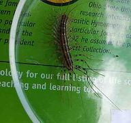 Silverfish Centipede