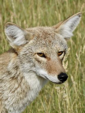 coyote1jpg