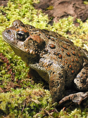 western-toad1jpg
