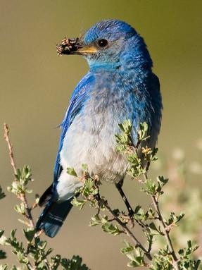 mountain-bluebird1jpg