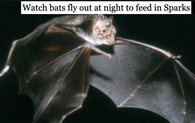 Watch bats fly out to feed at night in Sparks