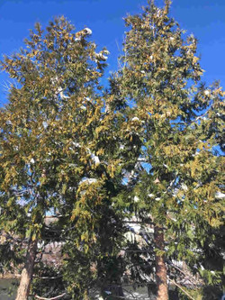 Incense Cedars 2_22_17 (lowest)