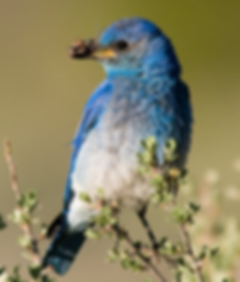 Mountain Bluebird male