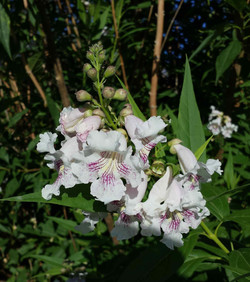 Catalpa Willow Hybrid -- Pink Dawn 1