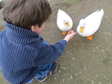 Boy_Feeding_White_Ducks.jpeg