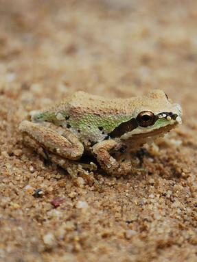 pacific-treefrog1jpg