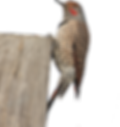 Woodpeckers_001.png