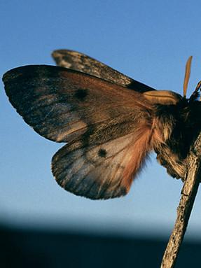 pandora-moth1jpg