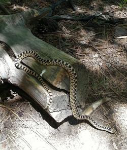 gofer snake Upper Thomas crk trail