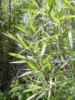 narrowleaf-willow1jpg