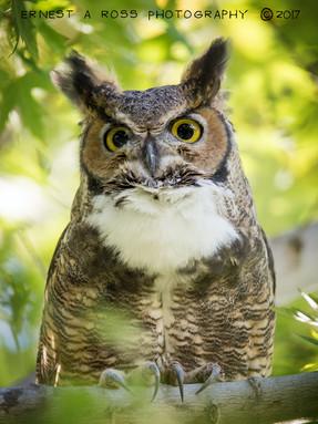 great-horned-owl1jpg