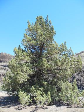 western-juniper1jpeg