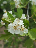 black hawthorn flower.jpg