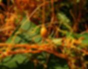 Dodder_(Cuscuta)_fruit.jpg
