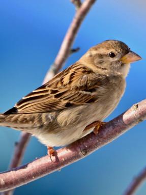 house-sparrow-profile.jpg