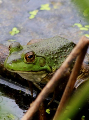 american-bullfrog1jpg