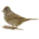 lincolns-sparrow.png