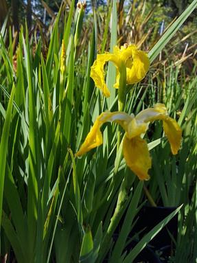 yellow-flag-iris1jpg