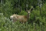 mule-deer-female-doe-colorado-steamboat.