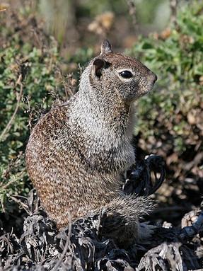 california-ground-squirrel1jpg