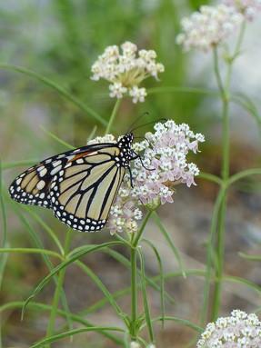 narrowleaf-milkweed1jpeg