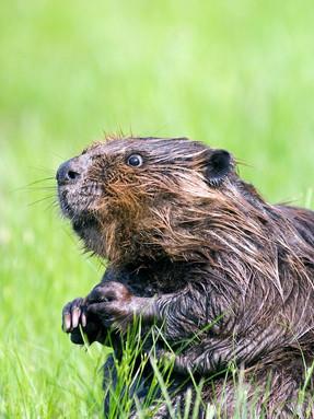 beaver1jpg