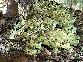 One of the many forms of foliose (leaf-like) lichens found in the park NPS photo