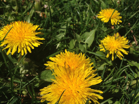 The Wondrous World of Weeds: In Defense of Dandelions