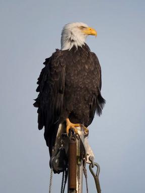 bald-eagle-profile.jpg