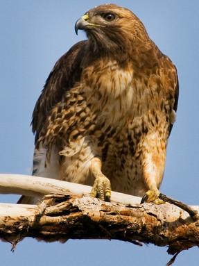 red-tailed-hawk1jpg
