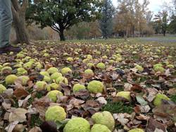 Idlewild Osage Oranges