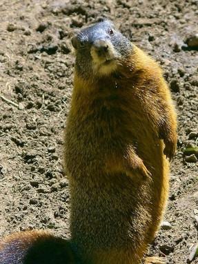 yellow-bellied-marmot1jpg