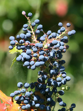 oregon-grape2jpg