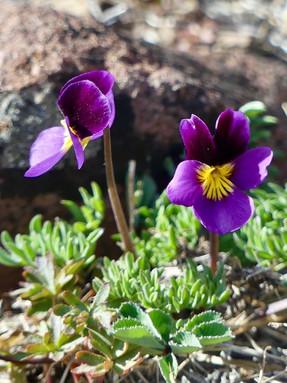 beckwiths-violet1jpeg