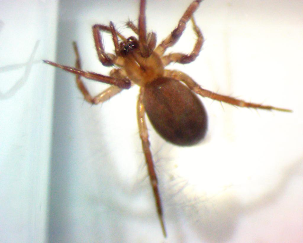 Dictynidae a spider