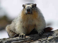 Yellow-bellied-marmots.jpg