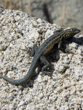 common-side-blotched-lizard1jpg