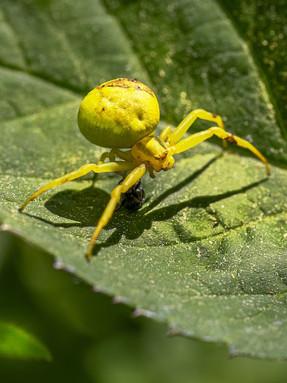 crab-spider1jpg