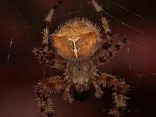 Cat-Faced Spider
