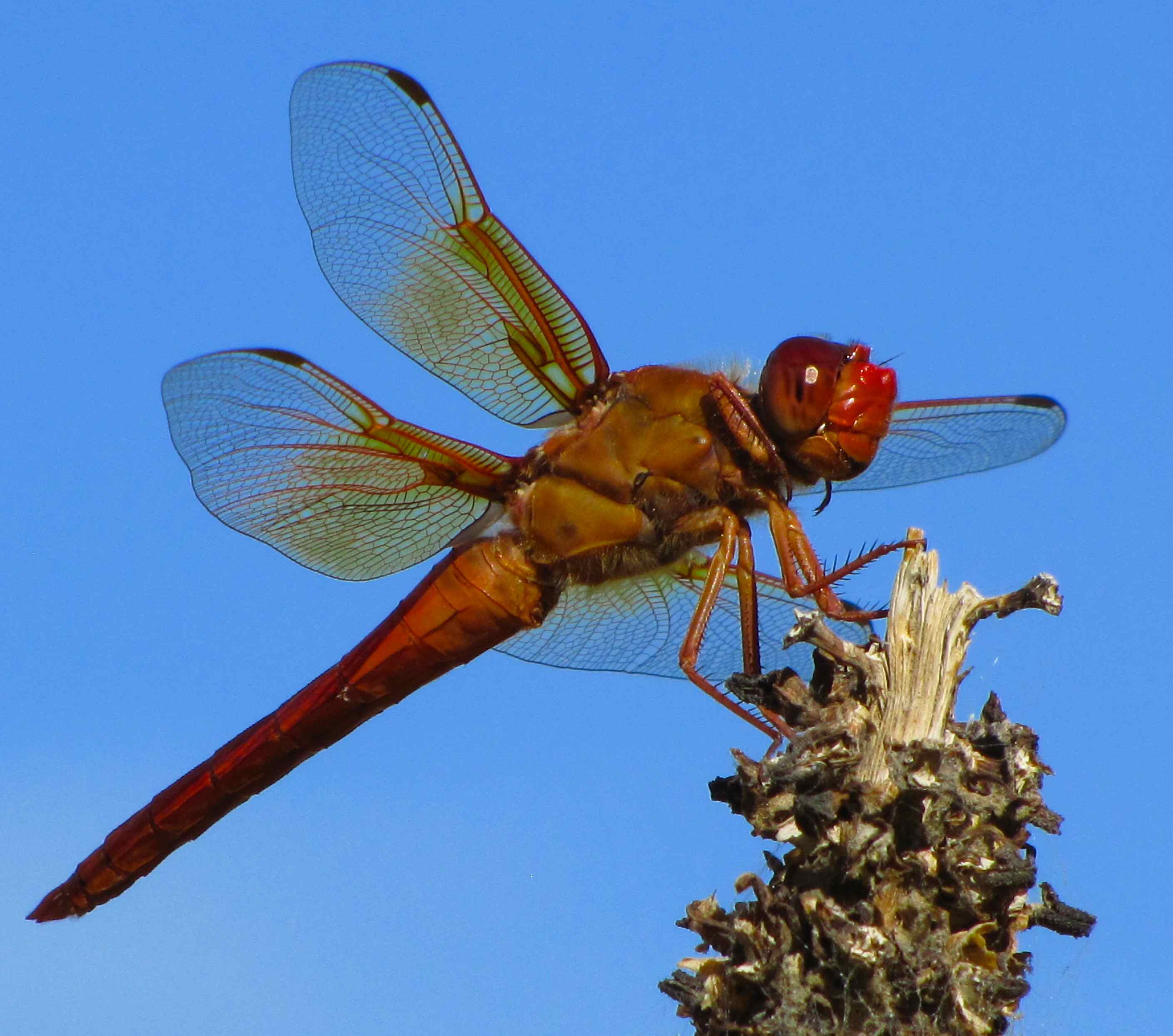 Red Flame Skimmer