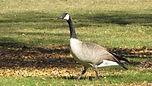 canada-goose-idlewild.JPG