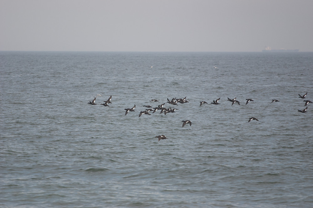 White-winged scoters off the shore of Sandy Hook
