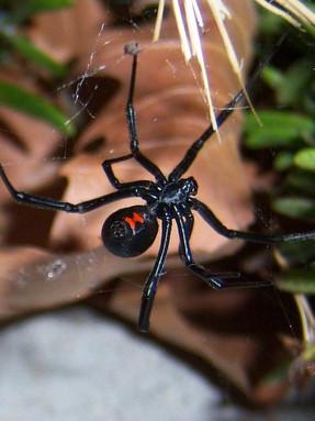 western-black-widow1jpg