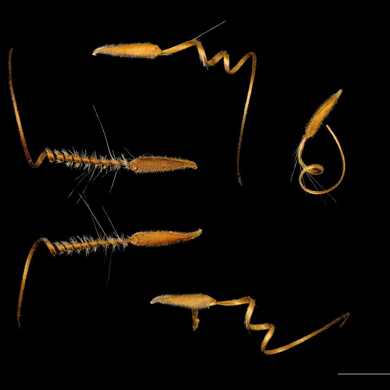 Erodium cicutarium seeds