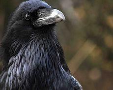 common raven.jpg